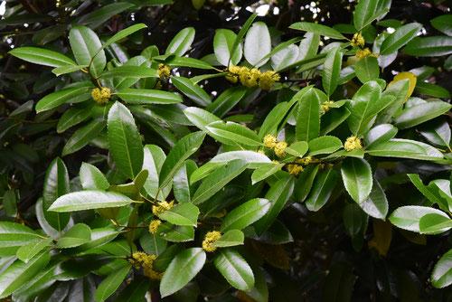 タラヨウの花,画像