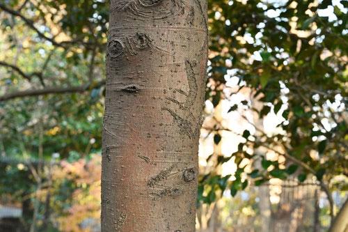 サカキ,さかき,木,幹