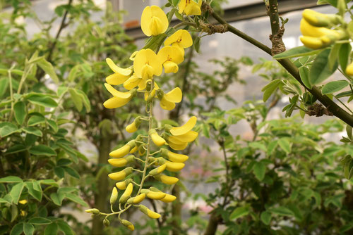 黄色い花が咲く藤の木
