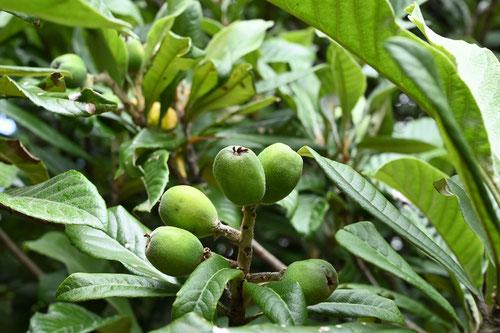 枇杷の果実