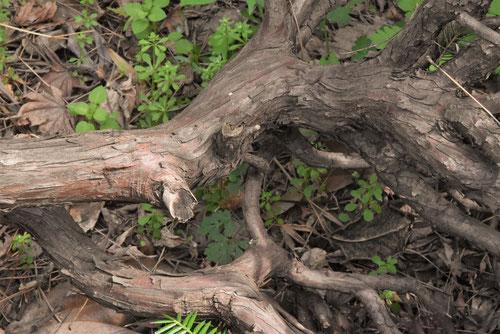 伽羅木,幹,きゃらの木