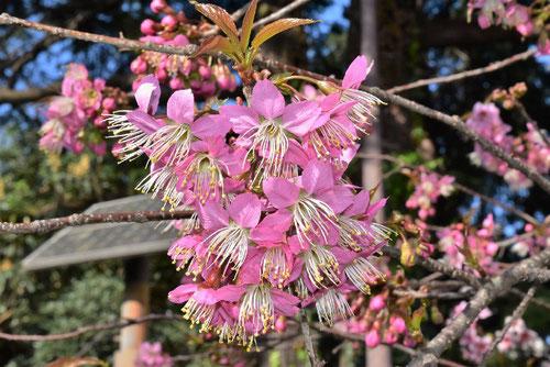 ヒマラヤザクラの花,特徴