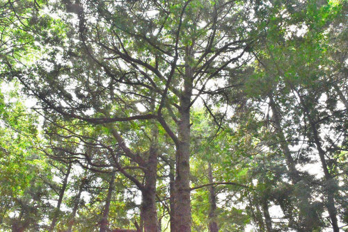 アブラスギ 木