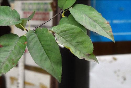 シデザクラ,ニレザクラ,樹木