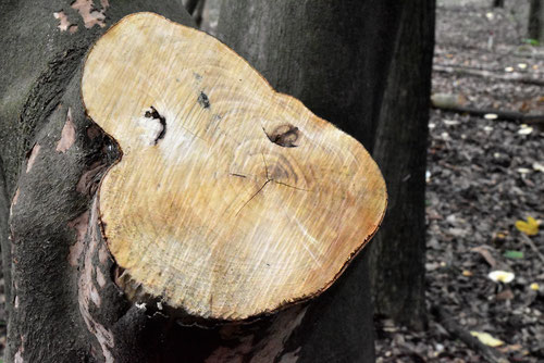 こけしの木