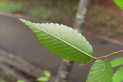 leaf of zelkova