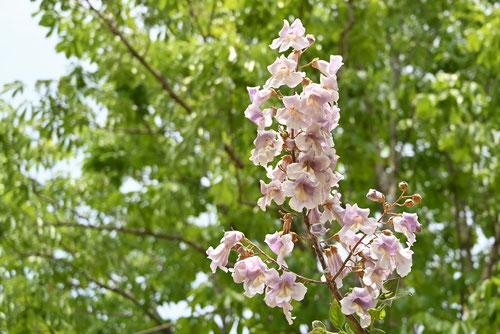 キリの木の花