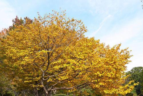 黄葉が美しい木 雑木