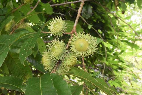 オカメドングリの木,名前