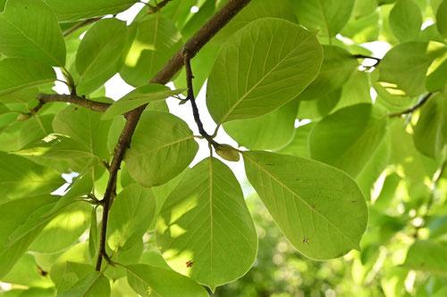 ハクモクレンの木の葉