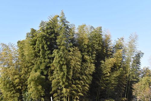 真竹と孟宗竹の違い