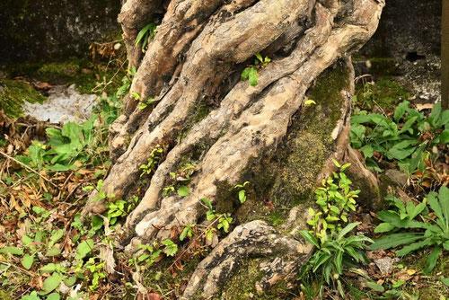 ザクロ 樹皮 幹 特徴