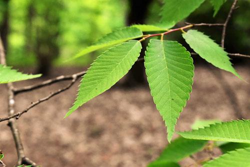 欅,葉,画像,けやき