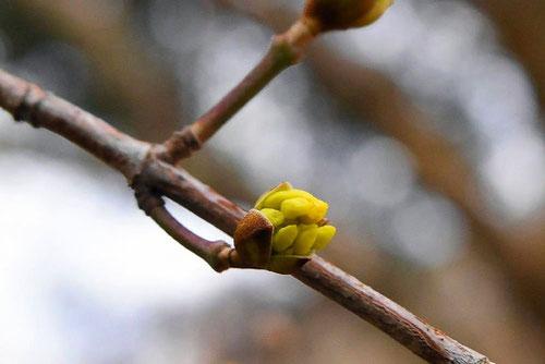 山茱萸の蕾,画像
