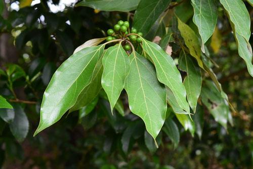 オキノミ 木