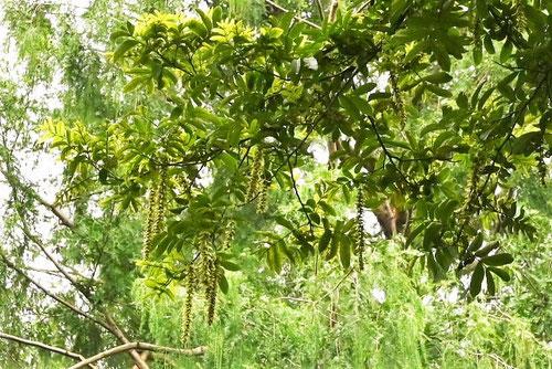 支那沢胡桃の木