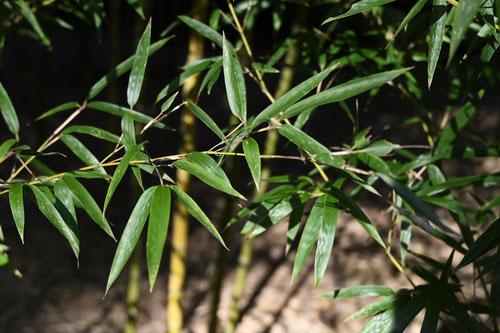 淡竹,葉っぱ