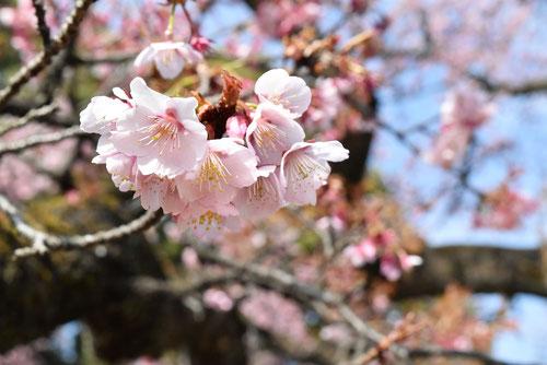 寒桜,開花時期,かんざくら