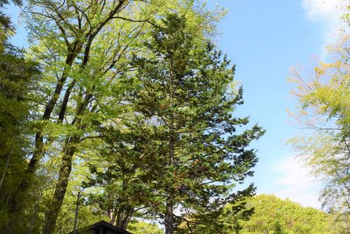 ヒムロ,木,ひむろすぎ