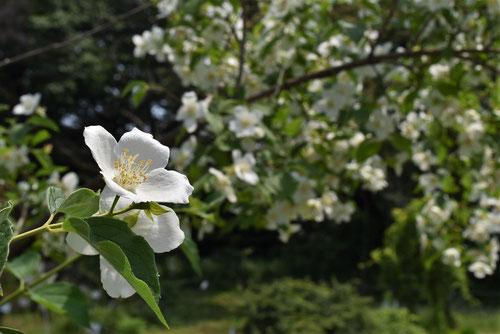 梅花空木,花