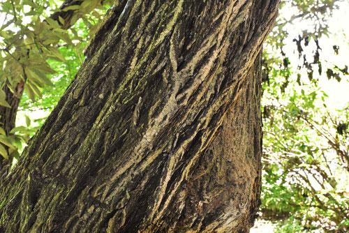 マユミの樹皮 写真