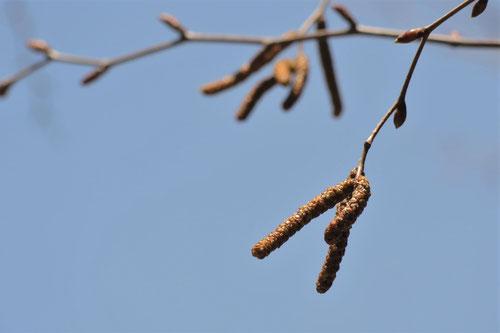 梓の木,画像
