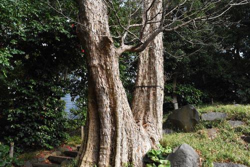 唐楓,巨樹