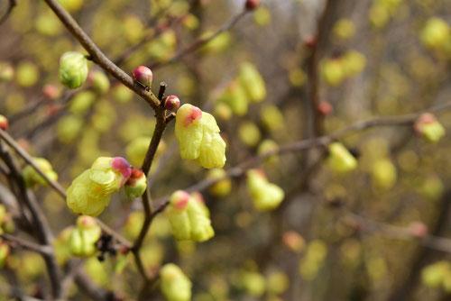 日向水木 開花時期