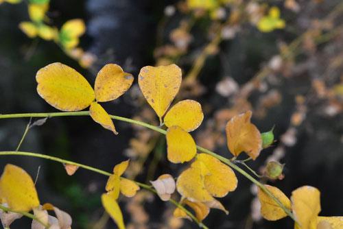 萩,紅葉,やまはぎ