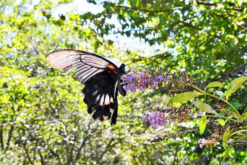 チョウが集まる花木