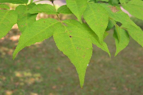 タモの木,葉っぱ