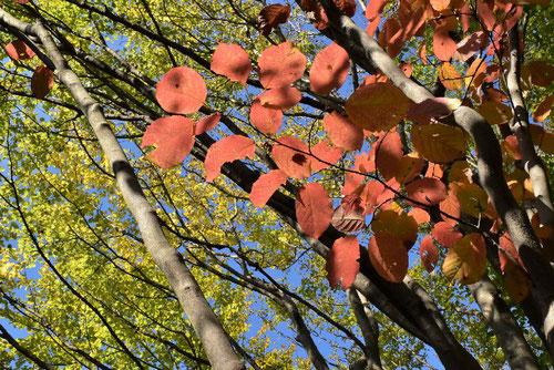 シラキ 紅葉が綺麗