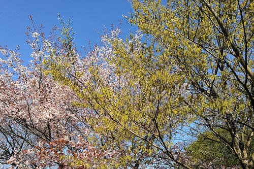 開花時期,ソロの木