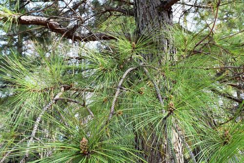 マツの種類 樹木図鑑