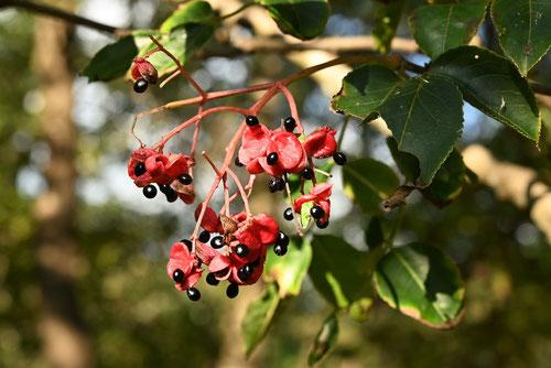 ゴンズイ 樹木