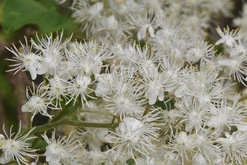 サワフタギの花,時期
