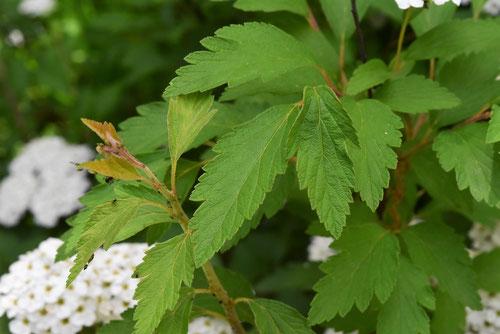 コデマリの葉っぱ 画像
