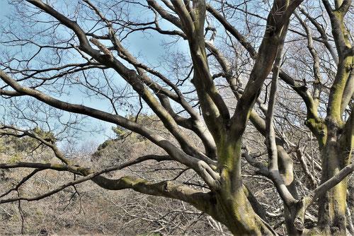 榎の木,植物