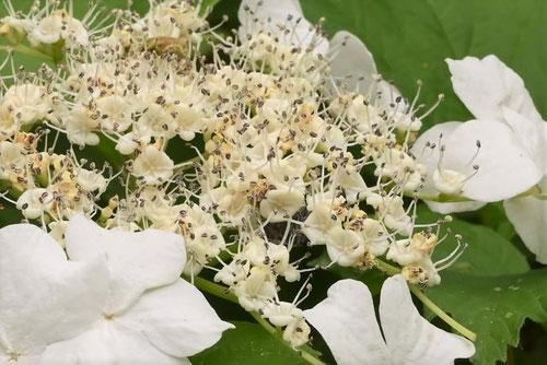 肝木,開花時期