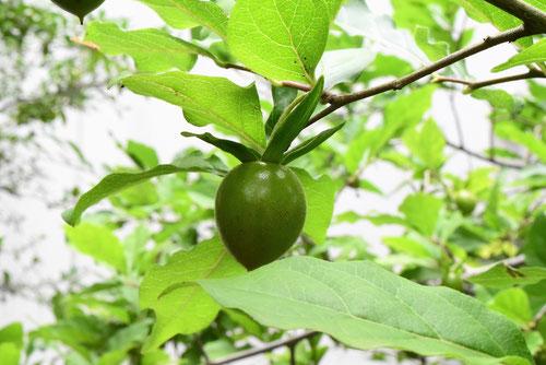 老爺柿の木,果実