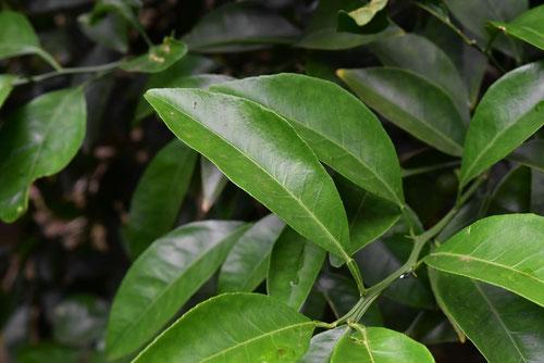 ナツミカンの葉