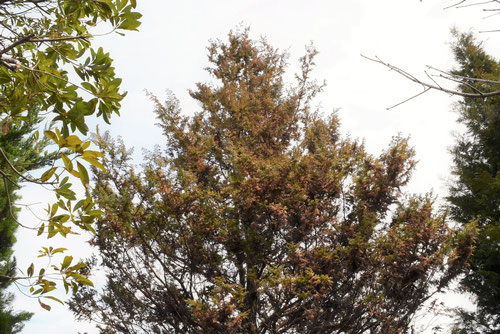 ヒムロスギ,樹木
