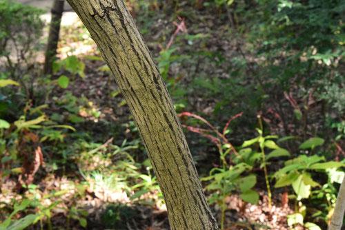 檀の木,樹皮