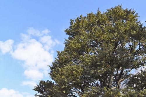 カナダツガの木,特徴