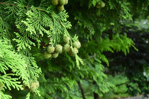 ちゃぼひば,カマクラヒバの木