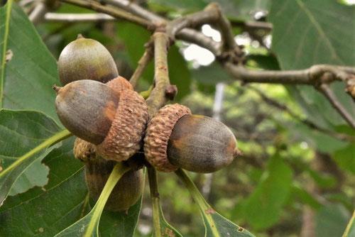 ナラガシワの木の実