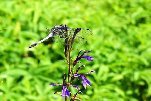 サワギキョウ,山野草,さわぎきょう