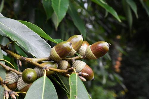 シラカシの木,特徴