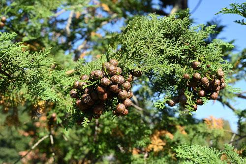 椹の木の実