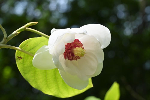 オオヤマレンゲの木の花